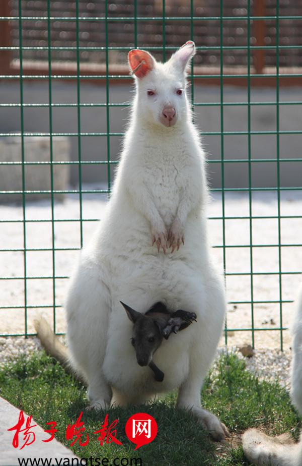 """春季,扎堆出生的动物宝宝们也是格外可爱。""""袋鼠妈妈袋鼠妈妈,有个袋袋,袋袋就是为了保护乖乖……""""今年,珍稀白袋鼠宝宝首次在无锡动物园诞生。2月初,饲养员发现新建袋鼠苑一只雌性白袋鼠的育儿袋开始隆起下垂,估计可能生崽。小袋鼠在母亲受孕后约35天左右出生,当时小若蚕豆,会立即爬入保育袋内慢慢生长,所以饲养员很难观察并确认它。近日,渐渐长大的小袋鼠才慢慢地从保育袋里探出头来,大家这才最终确定白袋鼠宝宝降生。工作人员袁鼎介绍,园内共有5只白袋鼠,2公3母,另外两"""